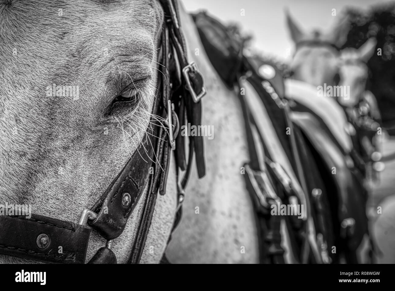 The first horse in a line of horses pulling a wagon. - Stock Image