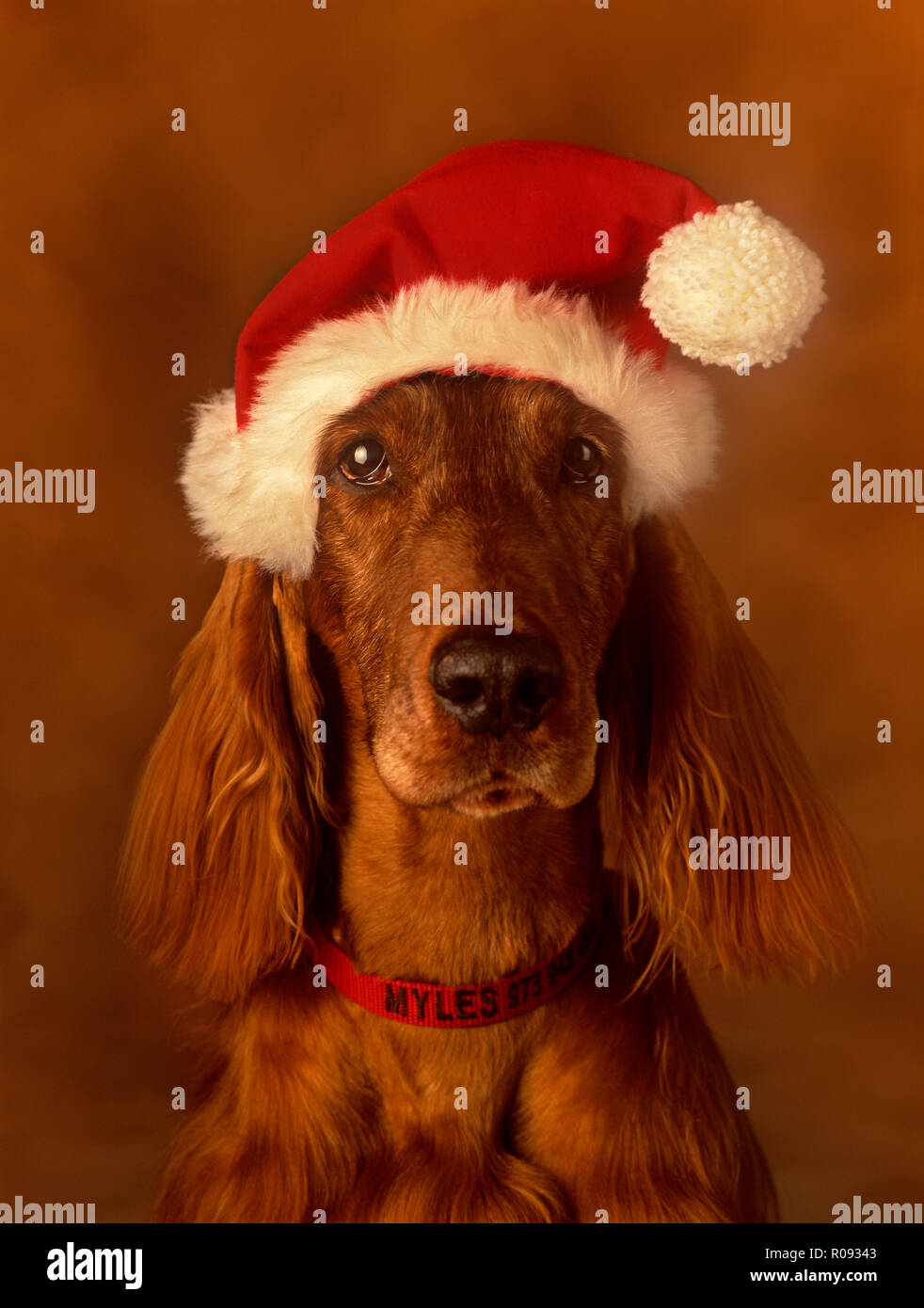 Irish Setter wearing a Santa hat against a very soft background looking straight at camera Stock Photo