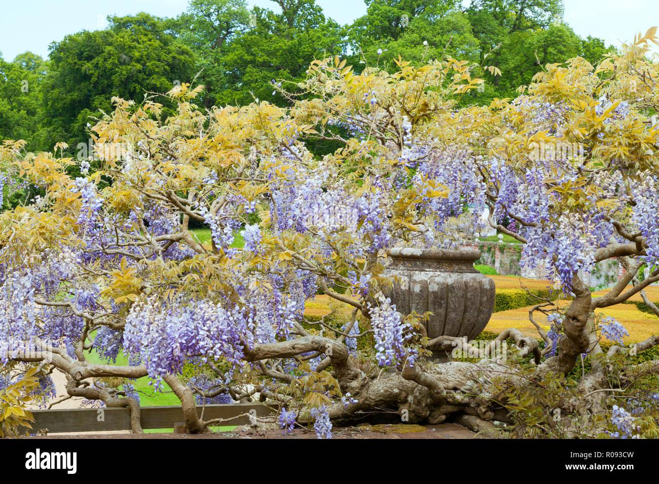 Une Glycine En Pot wisteria flowers stock photos & wisteria flowers stock