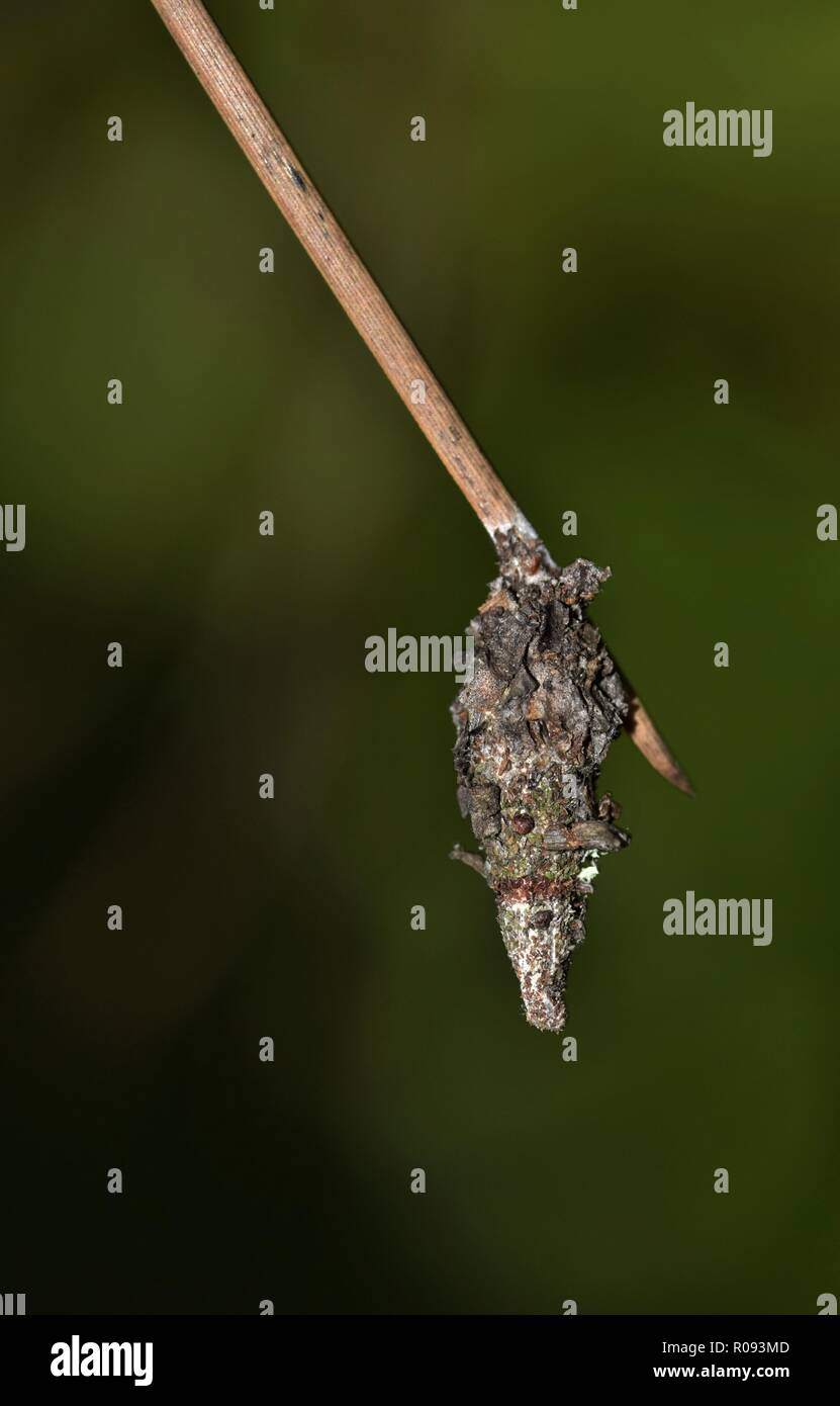Bagworm Cocoon Stock Photos & Bagworm Cocoon Stock Images