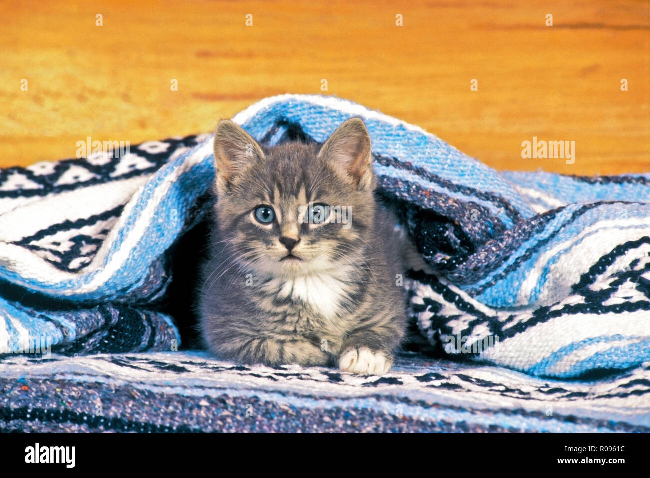 Kitten gray tabby laying under blanket in house, watching - Stock Image