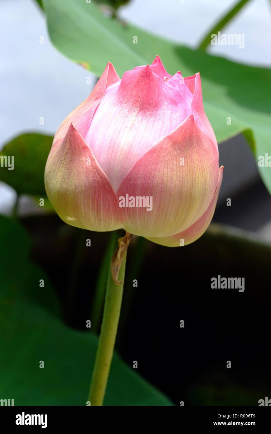 Lotus Flower Rare Flower Ancient Flower Symbol Of Purity Symbol