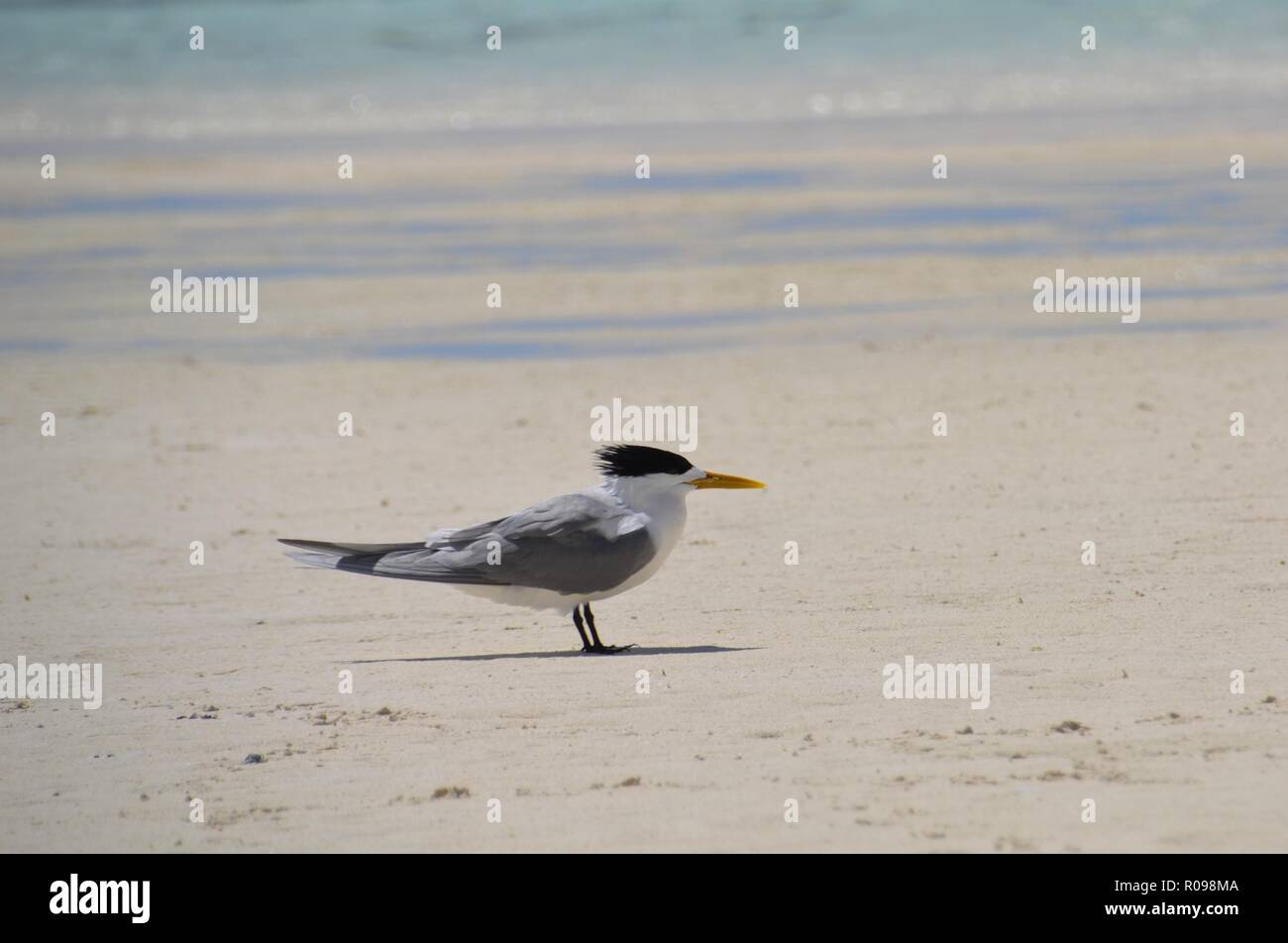 Crested tern sea bird facing the wind on the beach at Heron Island in Australian Great Barrier Reef - Stock Image