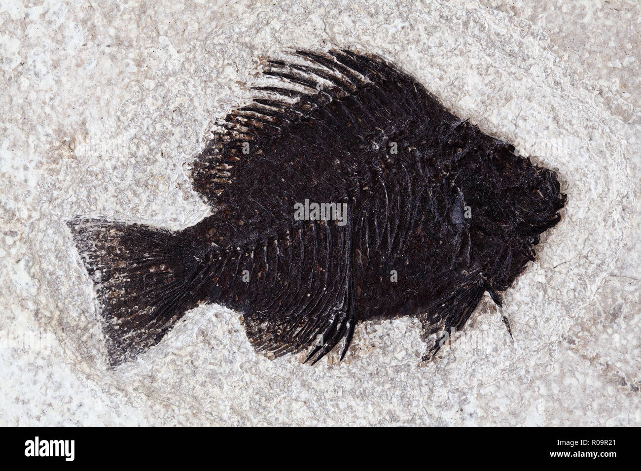 Priscacara fish fossil. Priscacara is an extinct genus of perch from the middle Eocene. Green River, Wyoming shale fossil Utah. - Stock Image