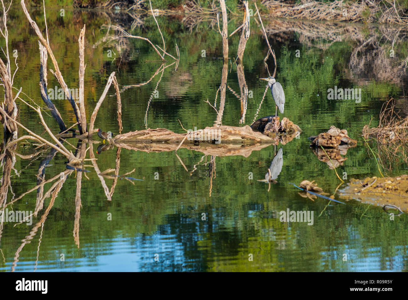 Grey heron (officially Ardea cinerea) beautifully reflected in Athalassa Lake in Cyprus on a beautiful sunny morning Stock Photo