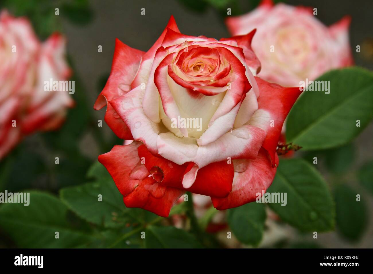 A white rose with deep orange red tips covered in raindrops after an afternoon shower - Stock Image