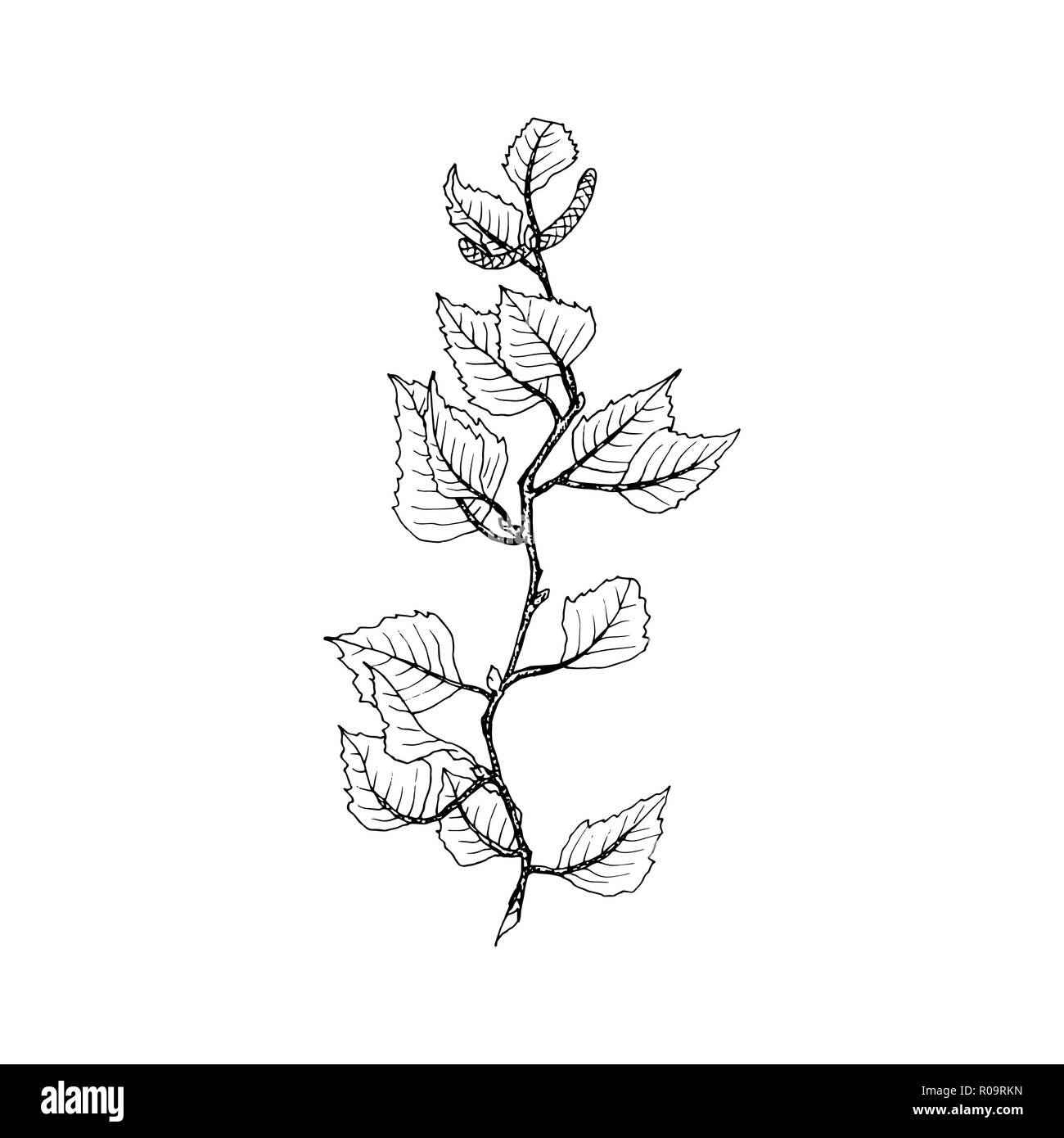 Birch tree branch contour line illustration. Tree twig with leaves and seeds on white background. Birch tree branch hand drawn autumn outline. Poster,banner,web design element. Isolated vector - Stock Image