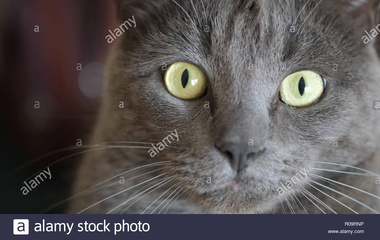 Cute Grey Cat - Stock Image