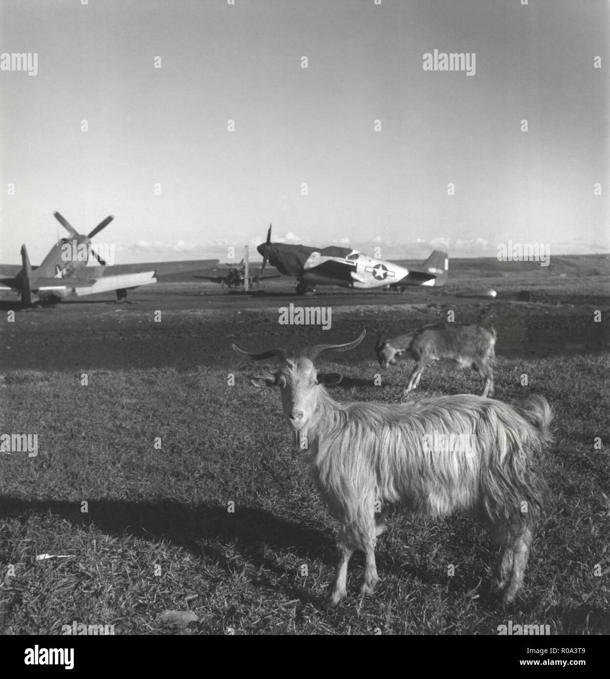 Goats on Runway at American Air Base with Airplanes in Background, Ramitelli, Italy, Toni Frissell, March 1945 - Stock Image