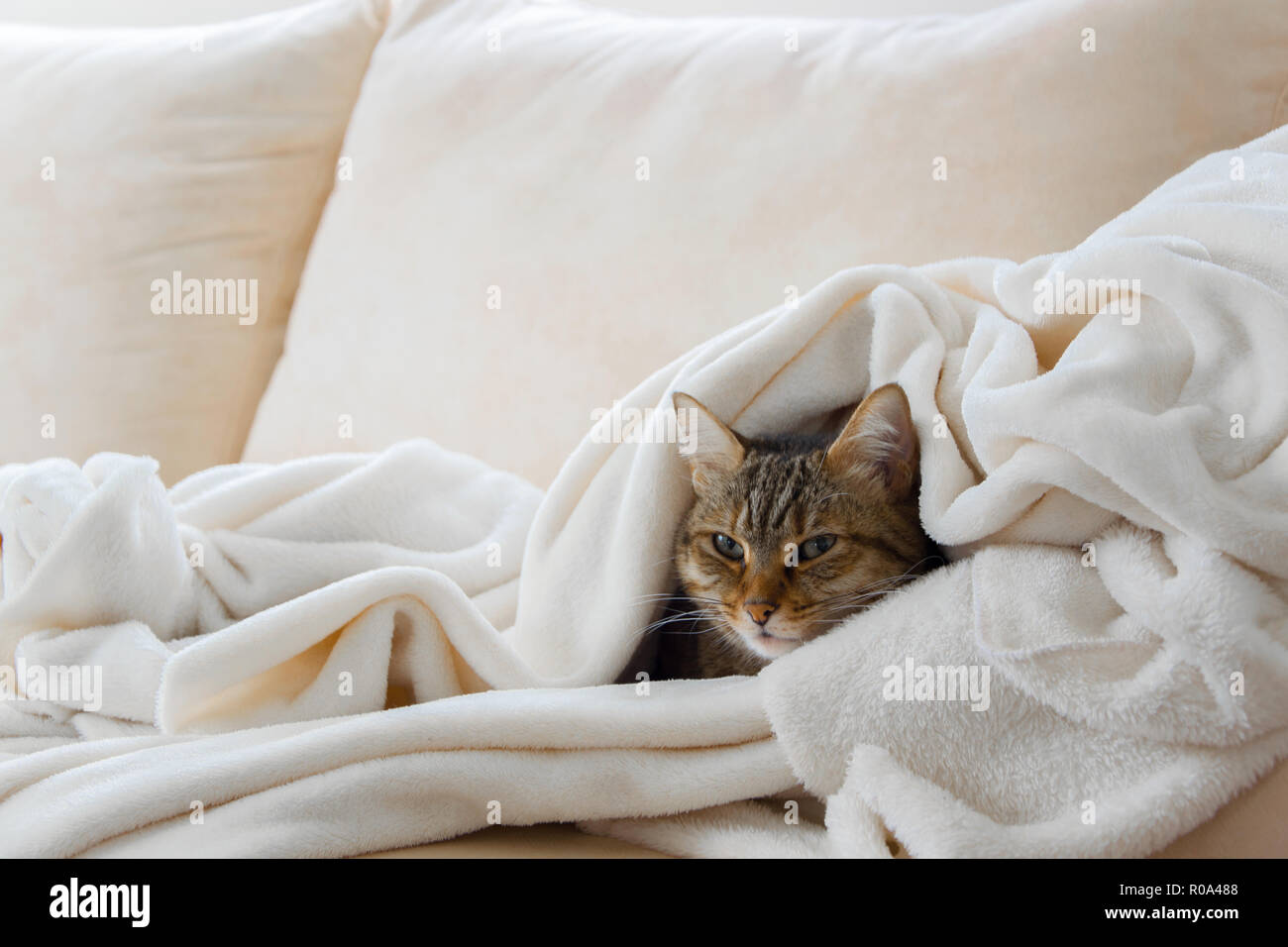 Beautiful european cat is relaxing in the soft white blanket on a sofa - Stock Image