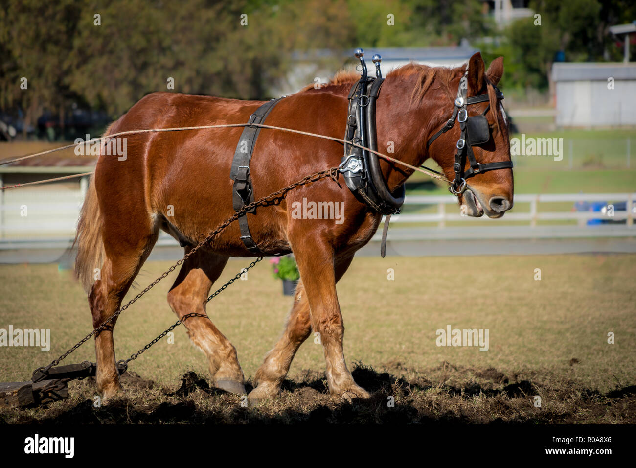 Draft horse in action ploughing the ground - Stock Image