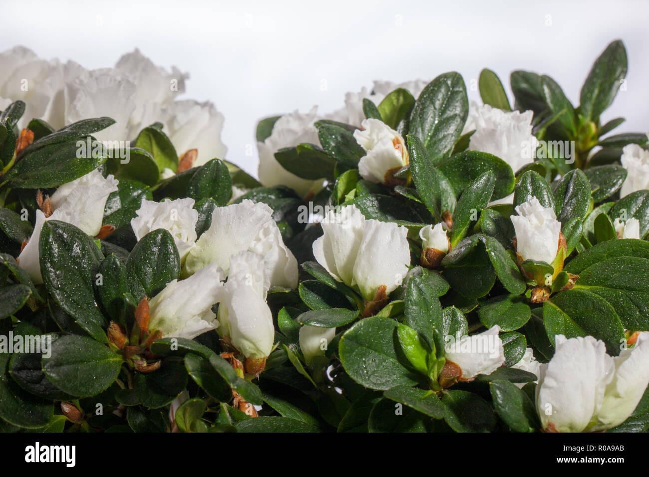 Azalea, Rhododendron Simsii-gruppen (Rhododendron simsii) - Stock Image
