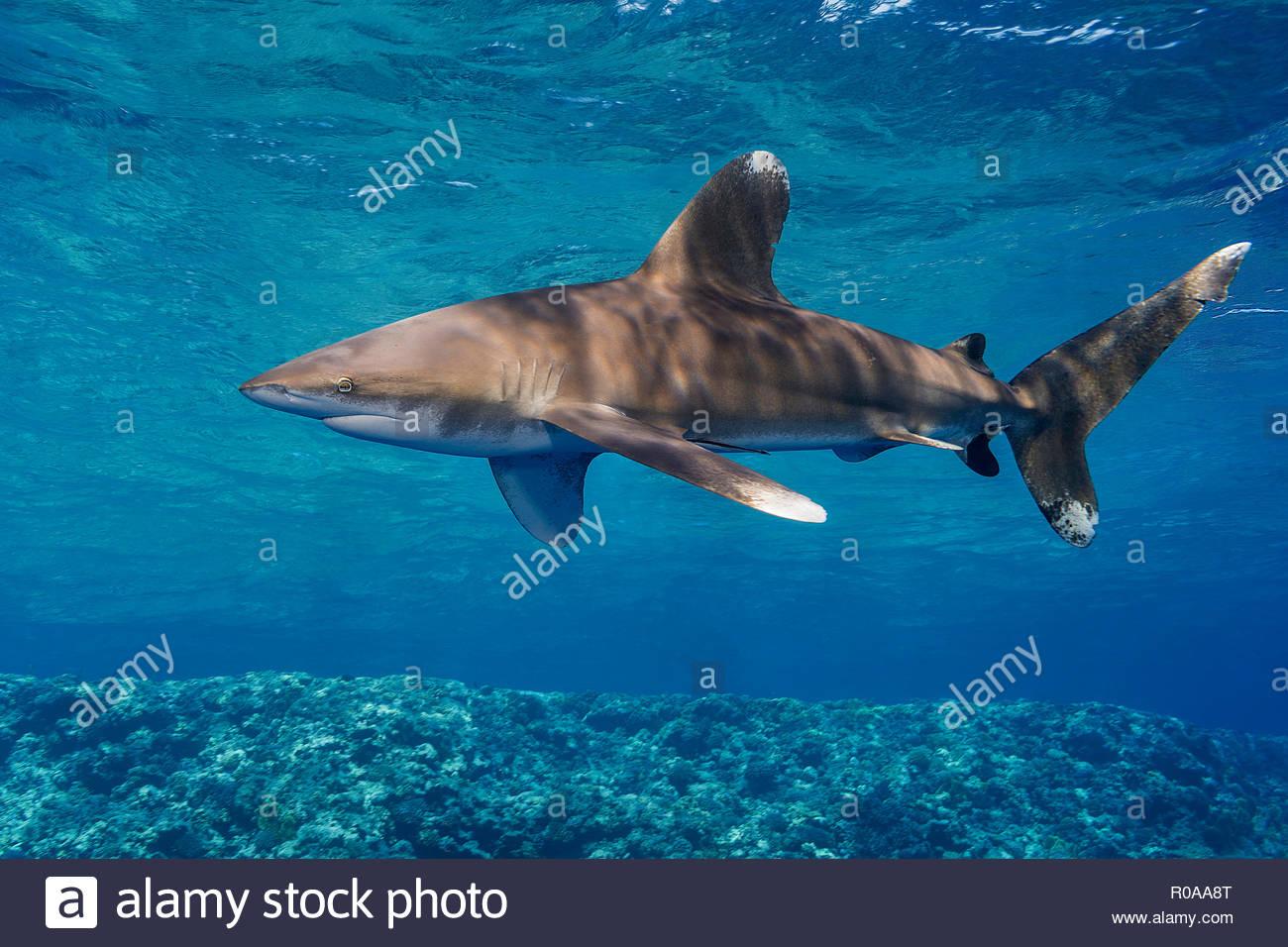 Weißspitzen-Hochseehai (Carcharhinus Longimanus), Brother Islands, Ägypten | Oceanic whitetip shark (Carcharhinus longimanus), Brother Islands, Egypt - Stock Image