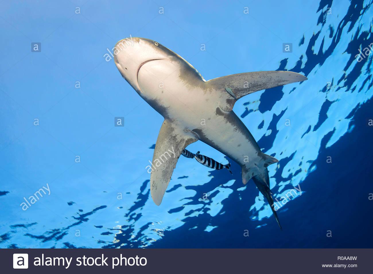 Weißspitzen-Hochseehai (Carcharhinus Longimanus), Elphistone Reef, Ägypten | Oceanic whitetip shark (Carcharhinus longimanus), Elphistone Reef, Egypt - Stock Image