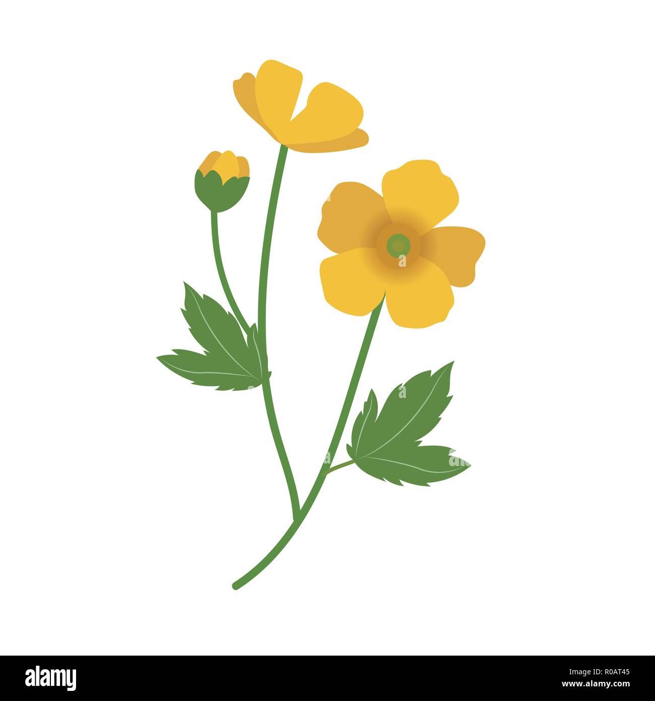 69ebf20152ce4 Nature flower buttercup, vector botanic garden floral leaf plant ...