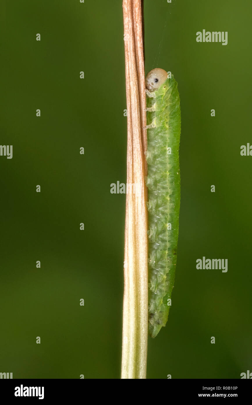 Sawfly caterpillar resting on plant stem. Tipperary, Ireland - Stock Image