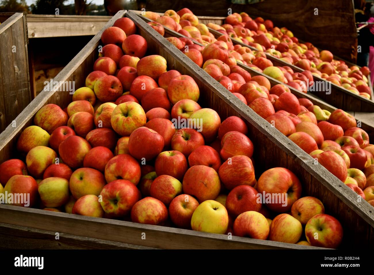 Autumn season is harvest time for apples in Washington state. Farms in Snohomish celebrate by opening up their farms to the public. - Stock Image