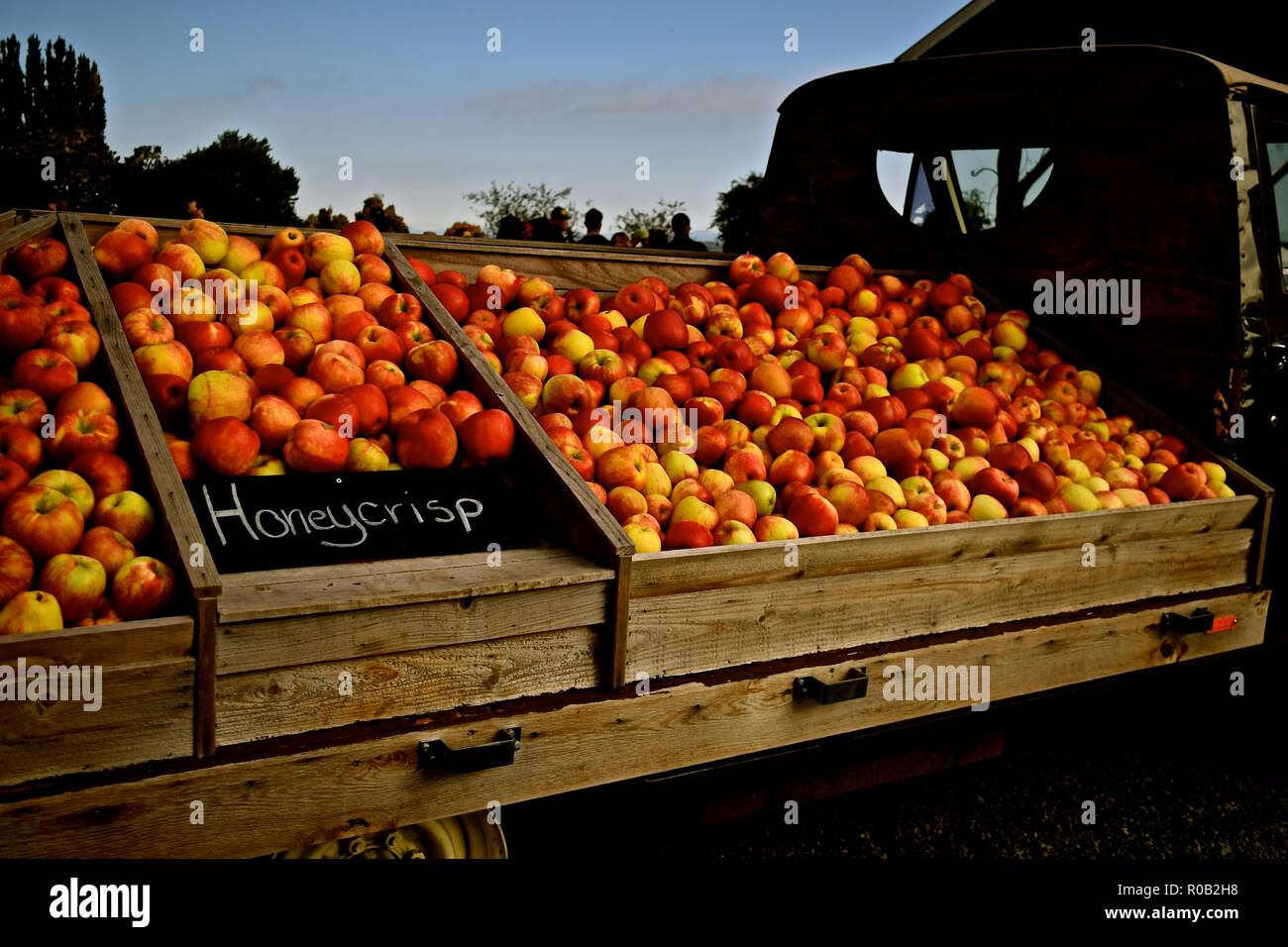 Autumn season is harvest time for apples in Washington state. Farms in Snohomish celebrate by opening up their farms to the public. Stock Photo