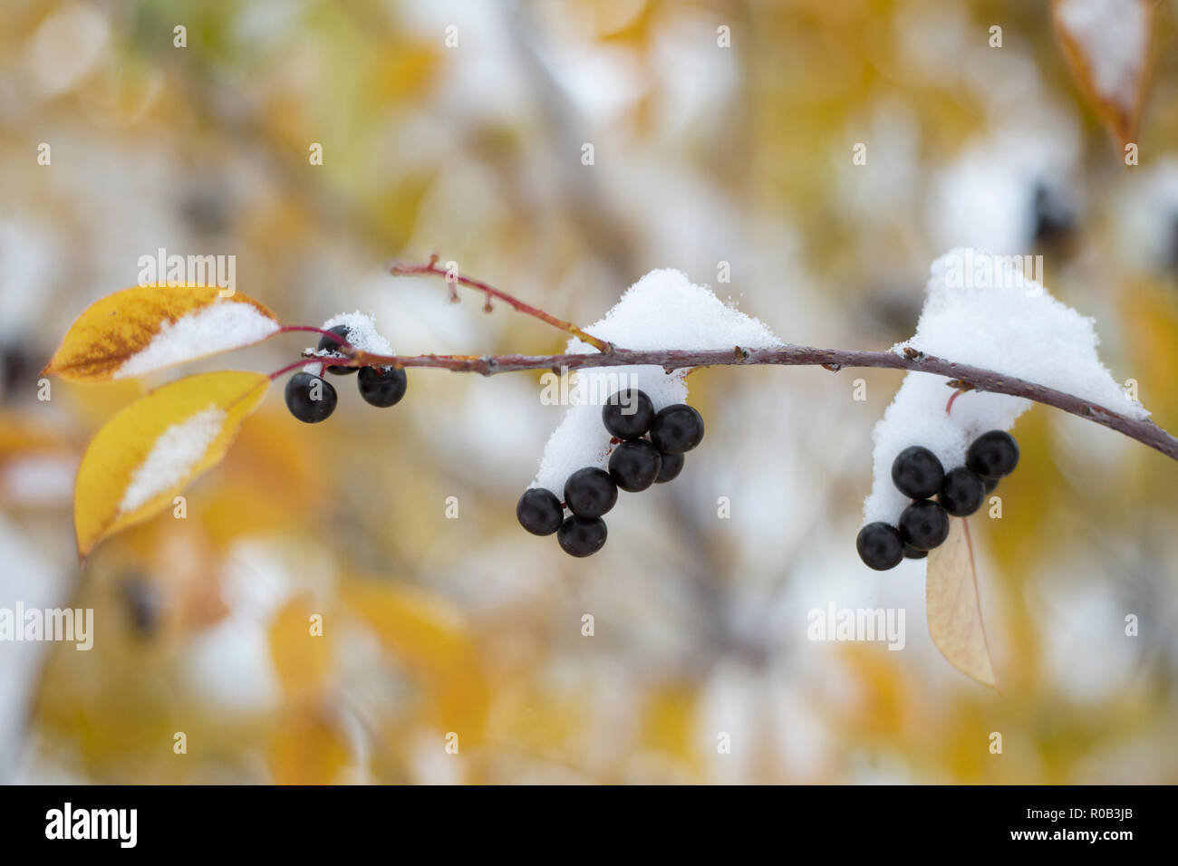 Choke cherry (Prunus virginiana) leaves in autumn color covered in snow after record breaking early snowfall at the beginning of October in Calgary. - Stock Image