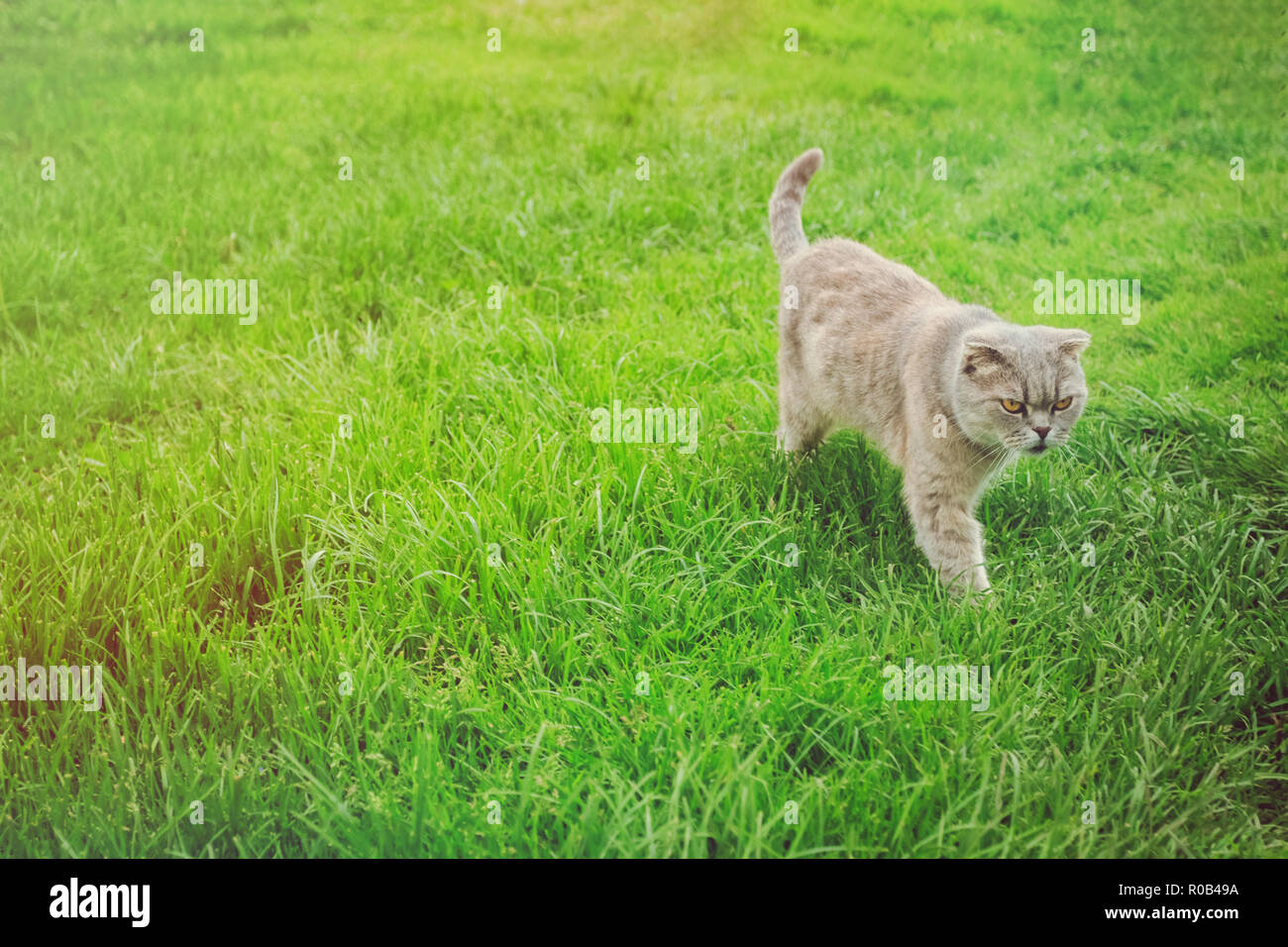 Scottish gray cat walking on the green lawn grass in the afternoon - Stock Image