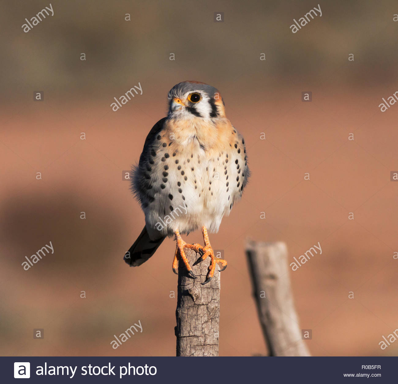 American Kestrel, Falco sparverius, Sparrow Hawk, perched on wooden post in Arizona USA - Stock Image