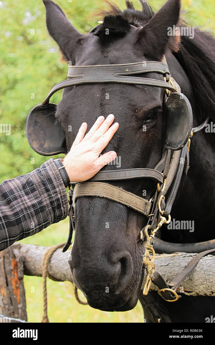 Petting a black horse with a bridle and blinkers - Stock Image