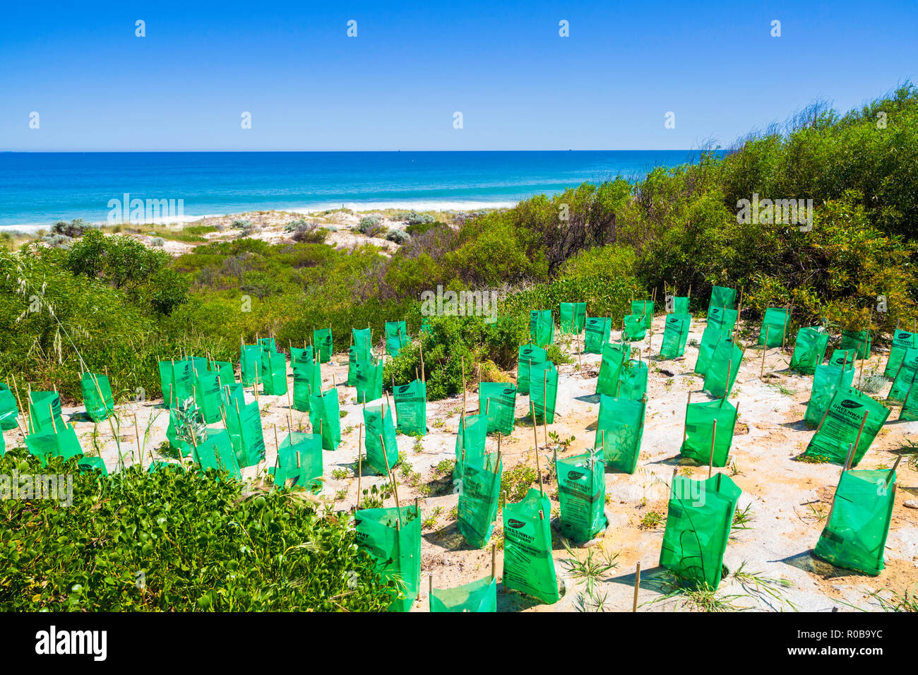 New native plants with seedling protectors planted in a sand Dune Conservation Area at Cottesloe Beach, - Stock Image