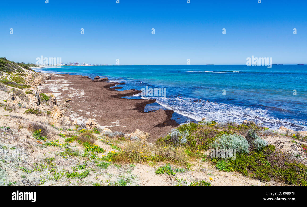 A build up of seagrass and seaweed on the shores of South Cottesloe Beach. - Stock Image