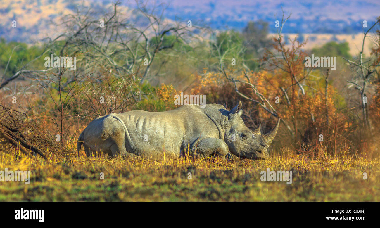 white rhino dry savannah stock photos  u0026 white rhino dry
