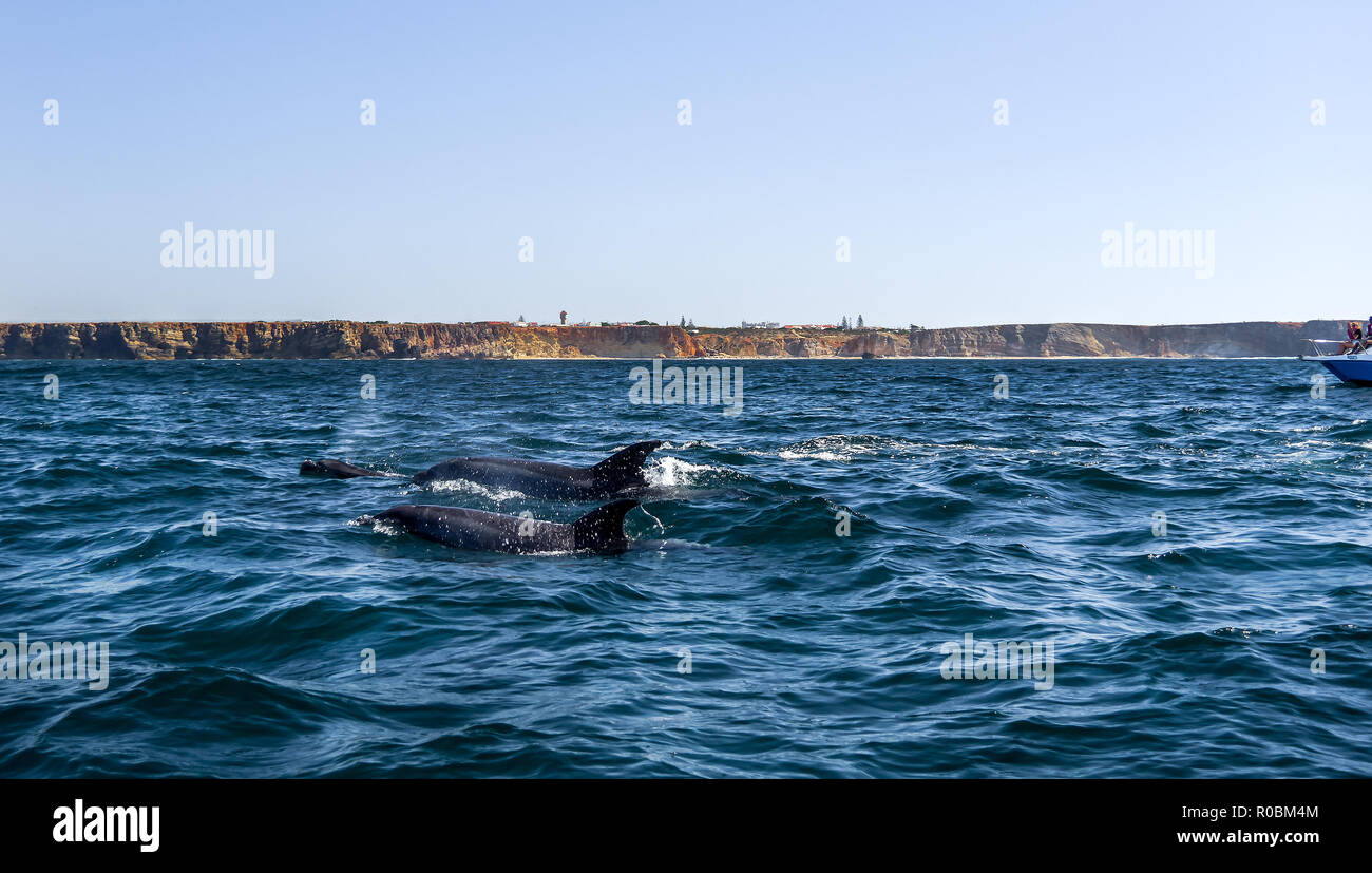 Dolphin watching tour in Sagres, Portugal. - Stock Image