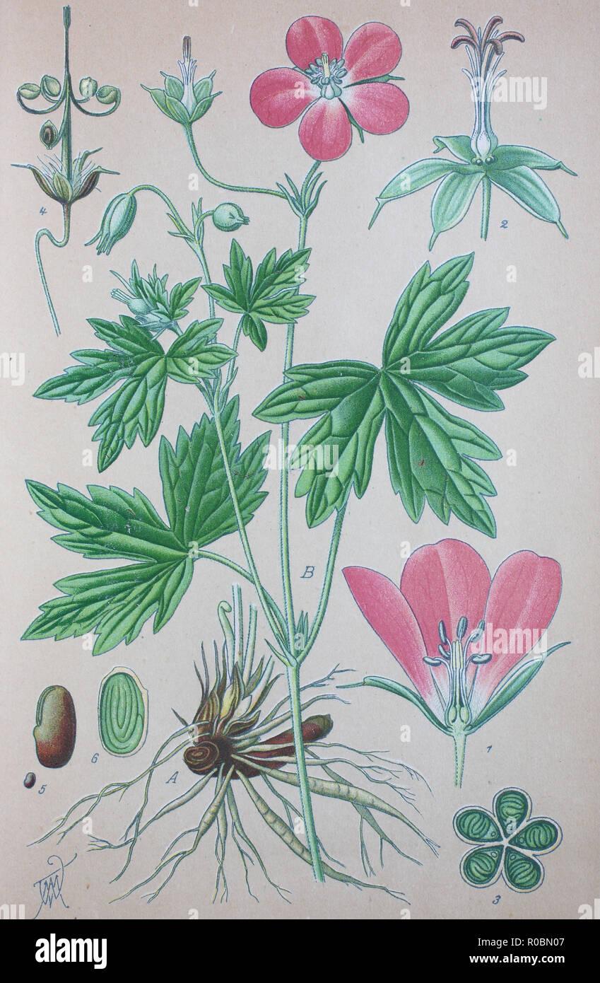 Digital improved high quality reproduction: Sumpf-Storchschnabel, Geranium palustre, ist eine Pflanzenart aus der Familie der Storchschnabelgewächse Geraniaceae - Stock Image