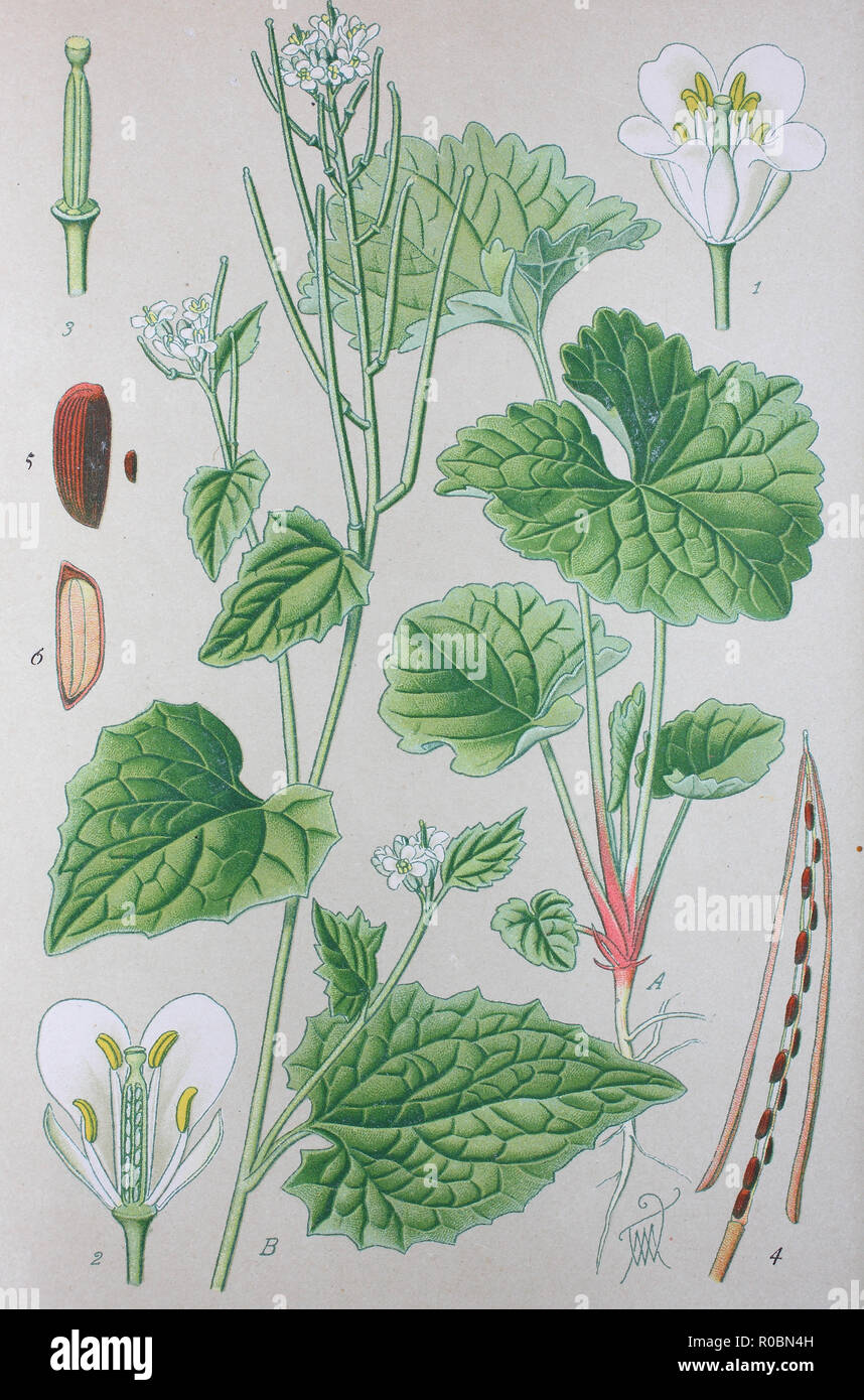 Digital improved high quality reproduction: Watercress or yellowcress is an aquatic plant species with the botanical name Nasturtium officinale Stock Photo