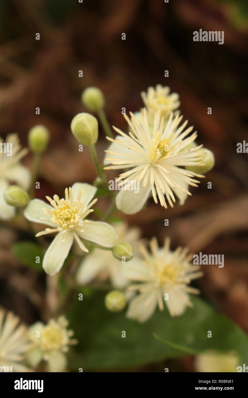 Old Man's Beard blossom in a hedge close up - Stock Image