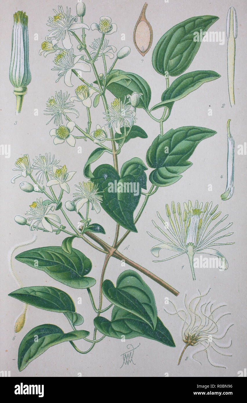 Digital improved high quality reproduction: Clematis vitalba, also known as old man's beard and traveller's joy, is a shrub of the Ranunculaceae family - Stock Image