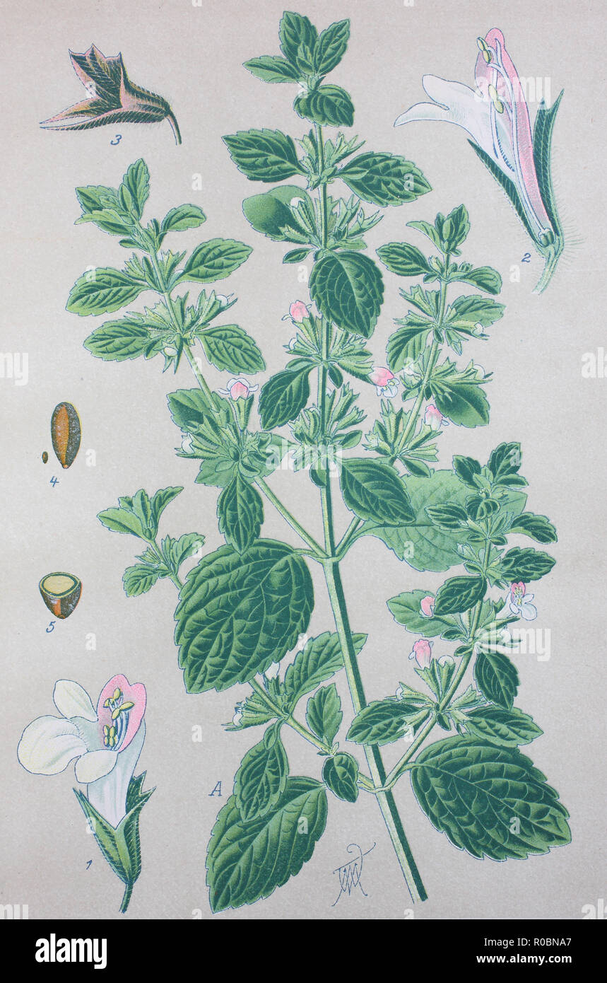 Digital improved high quality reproduction: Lemon balm, Melissa officinalis, balm, common balm, or balm mint, is a perennial herbaceous plant in the mint family Lamiaceae Stock Photo