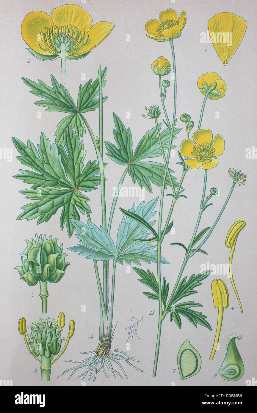 Digital improved high quality reproduction: Ranunculus acris is a species of flowering plant in the family Ranunculaceae, and is one of the more common buttercups across Europe and temperate Eurasia. Common names include meadow buttercup, tall buttercup, common buttercup and giant buttercup - Stock Image