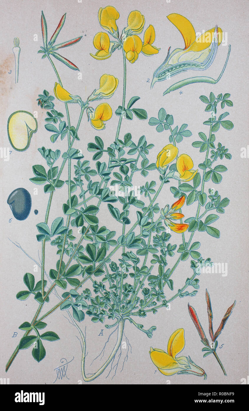 Digital improved high quality reproduction: Lotus corniculatus is a common flowering plant in the pea family Fabaceae, native to grasslands in temperate Eurasia and North Africa. Common names include common bird's-foot trefoil, eggs and bacon, birdsfoot deervetch, and just bird's-foot trefoil - Stock Image