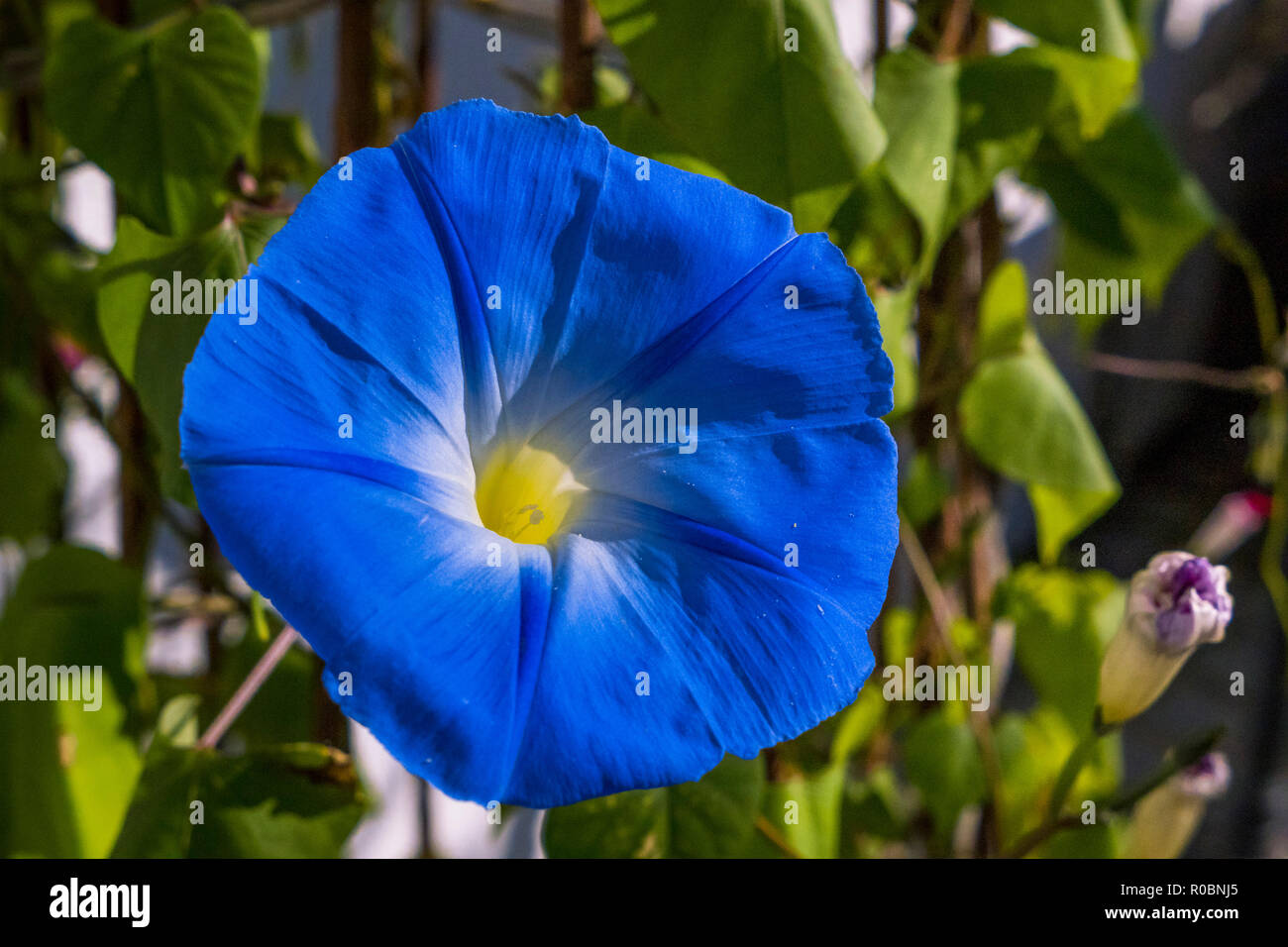 Blue morning glory Ipomoea violacea, Bavaria, Germany, Europe - Stock Image