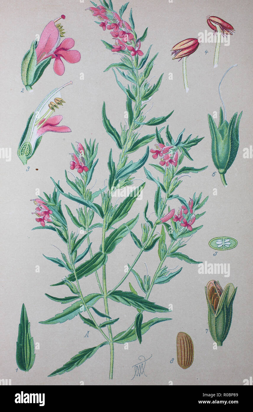 Digital improved high quality reproduction: Odontites is a genus of flowering plants in the family Orobanchaceae, Red Bartsia - Stock Image
