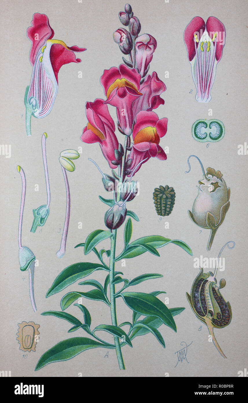 Digital improved high quality reproduction: Antirrhinum majus, common snapdragon, is a species of flowering plant belonging to the genus Antirrhinum Stock Photo