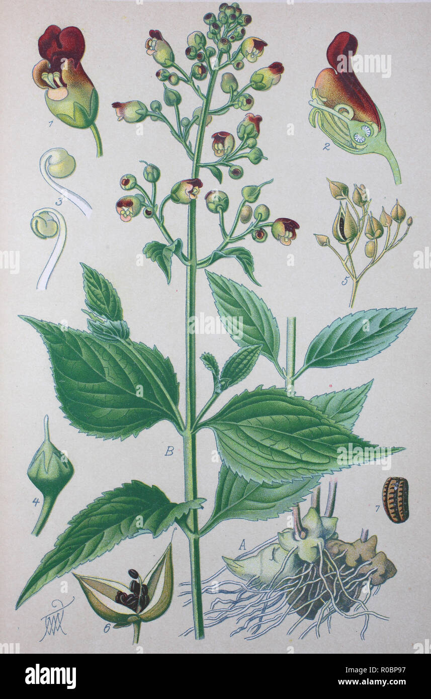 Digital improved high quality reproduction: Scrophularia nodosa, also called figwort, woodland figwort, and common figwort, is a perennial herbaceous plant found in temperate regions of the Northern hemisphere - Stock Image