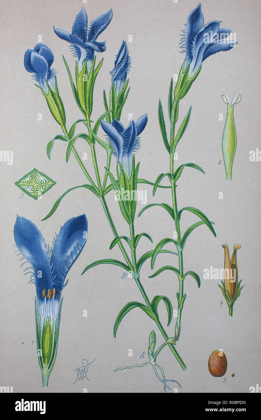 Digital improved high quality reproduction: Gentiana eiliata, Gentiana is a genus of flowering plants belonging to the gentian family - Stock Image