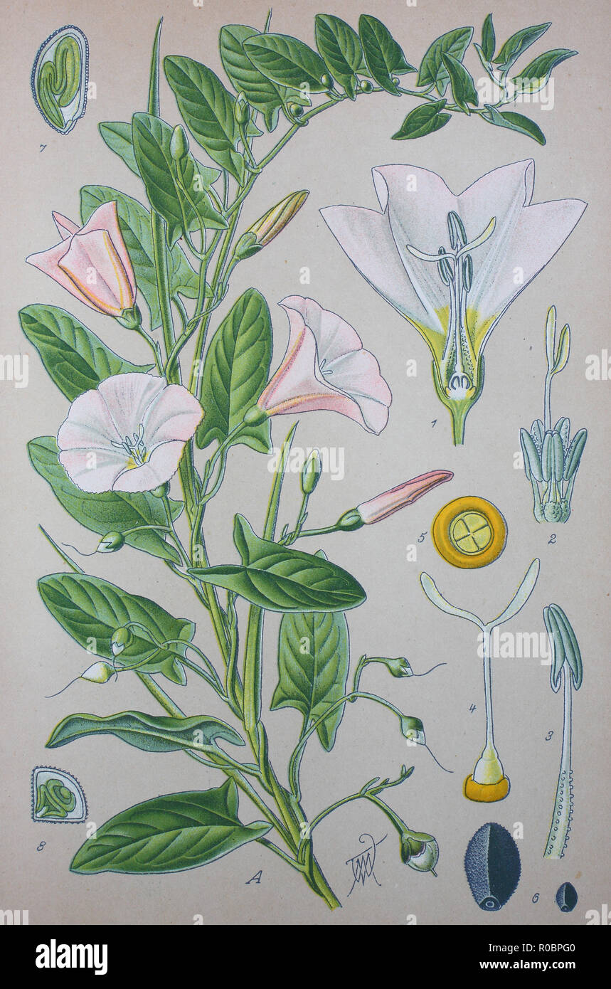 Digital improved high quality reproduction: Convolvulus arvensis, field bindweed, is a species of bindweed in the morning glory family, Convolvulaceae, - Stock Image