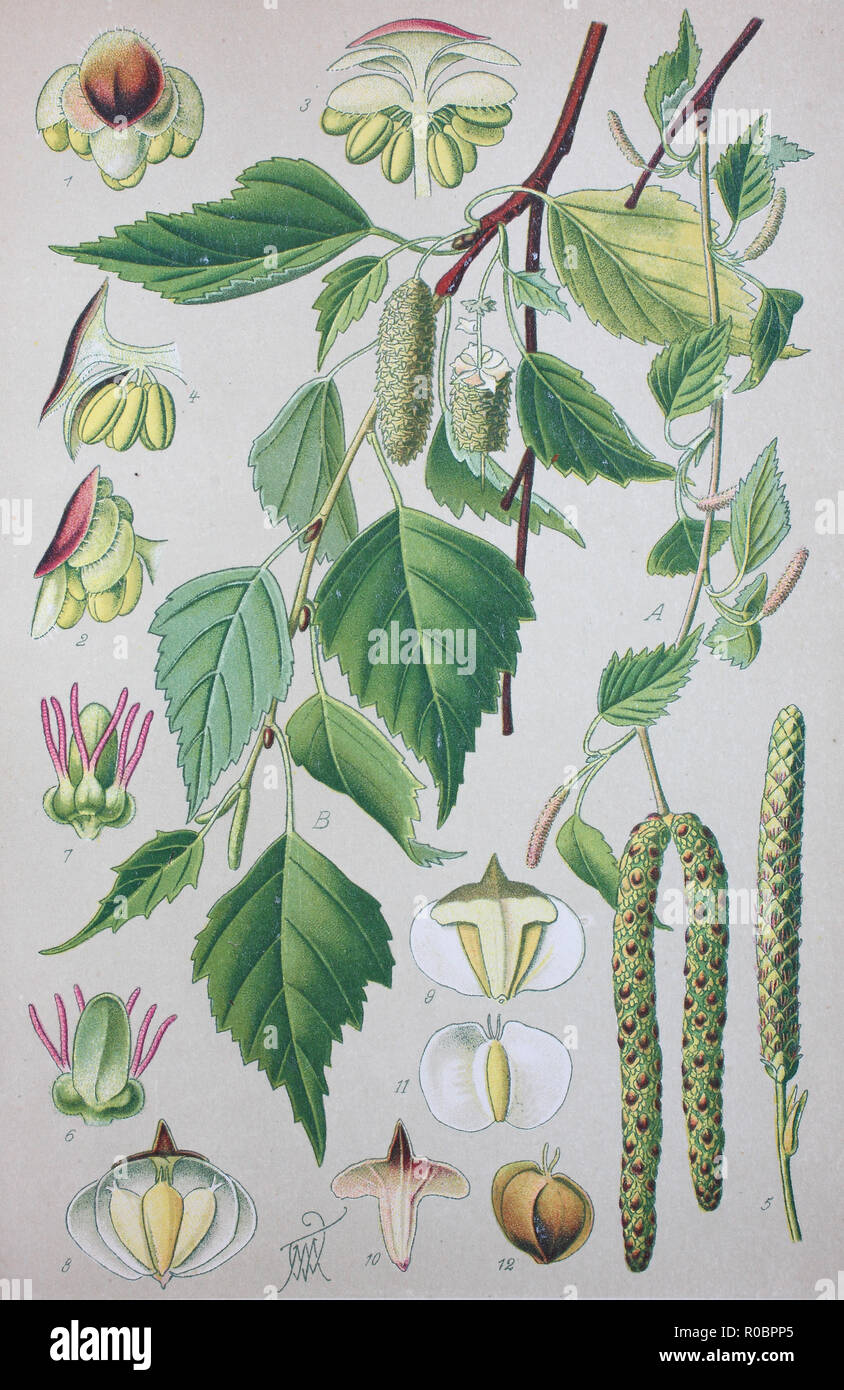 Digital improved high quality reproduction: Betula pubescens, syn. Betula alba, commonly known as downy birch and also as moor birch, white birch, European white birch or hairy birch, is a species of deciduous tree Stock Photo