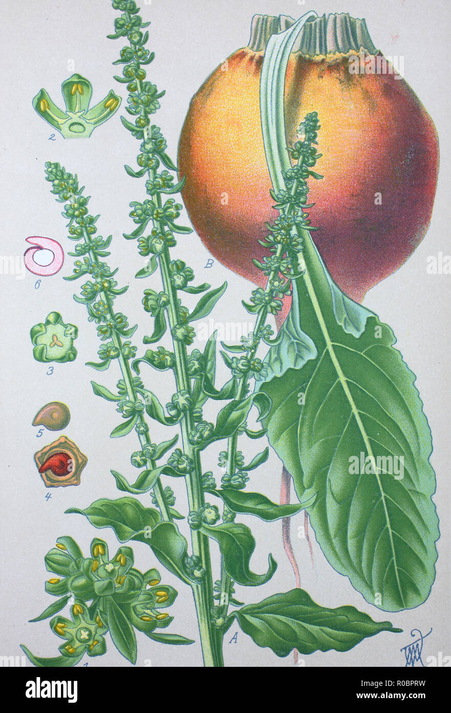 Digital improved high quality reproduction: Beta vulgaris, beet, is a plant which is included in Betoideae subfamily in the Amaranthaceae family Stock Photo