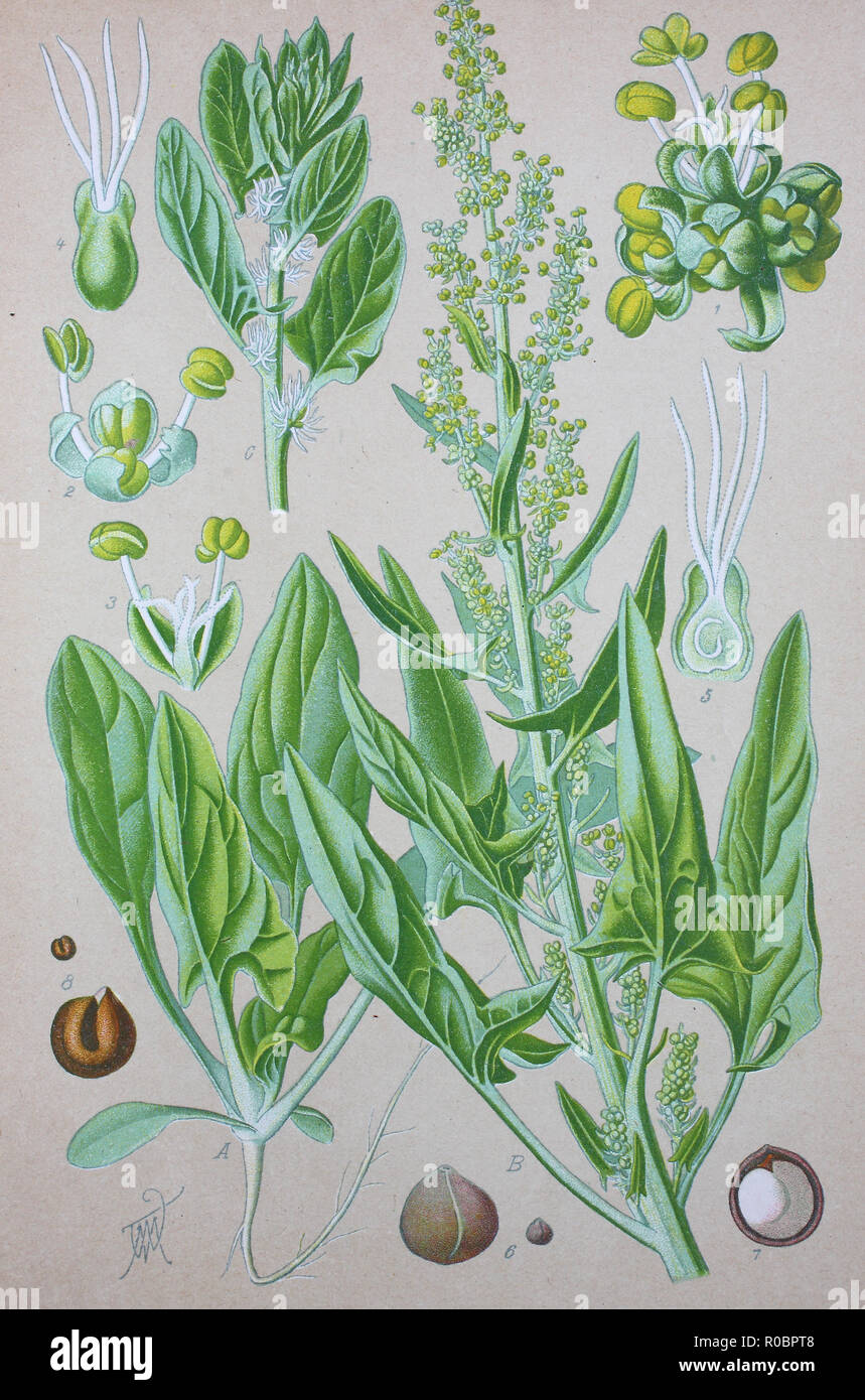 Digital improved high quality reproduction: Spinach, Spinacia oleracea, is an edible flowering plant in the family Amaranthaceae Stock Photo