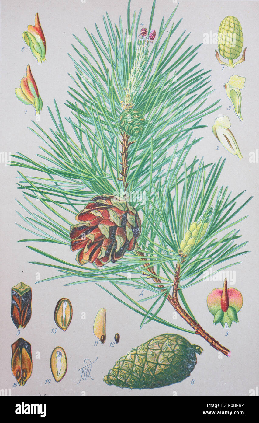 Digital improved high quality reproduction: Scots pine, Pinus sylvestris, is a species of pine that is native to Eurasia Stock Photo