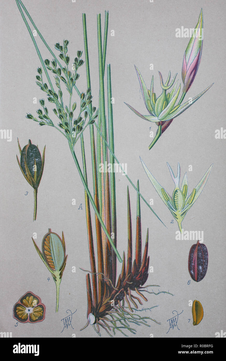 Digital improved high quality reproduction: Juncus effusus, with the common names common rush or soft rush, is a perennial herbaceous flowering plant species in the family Juncaceae - Stock Image