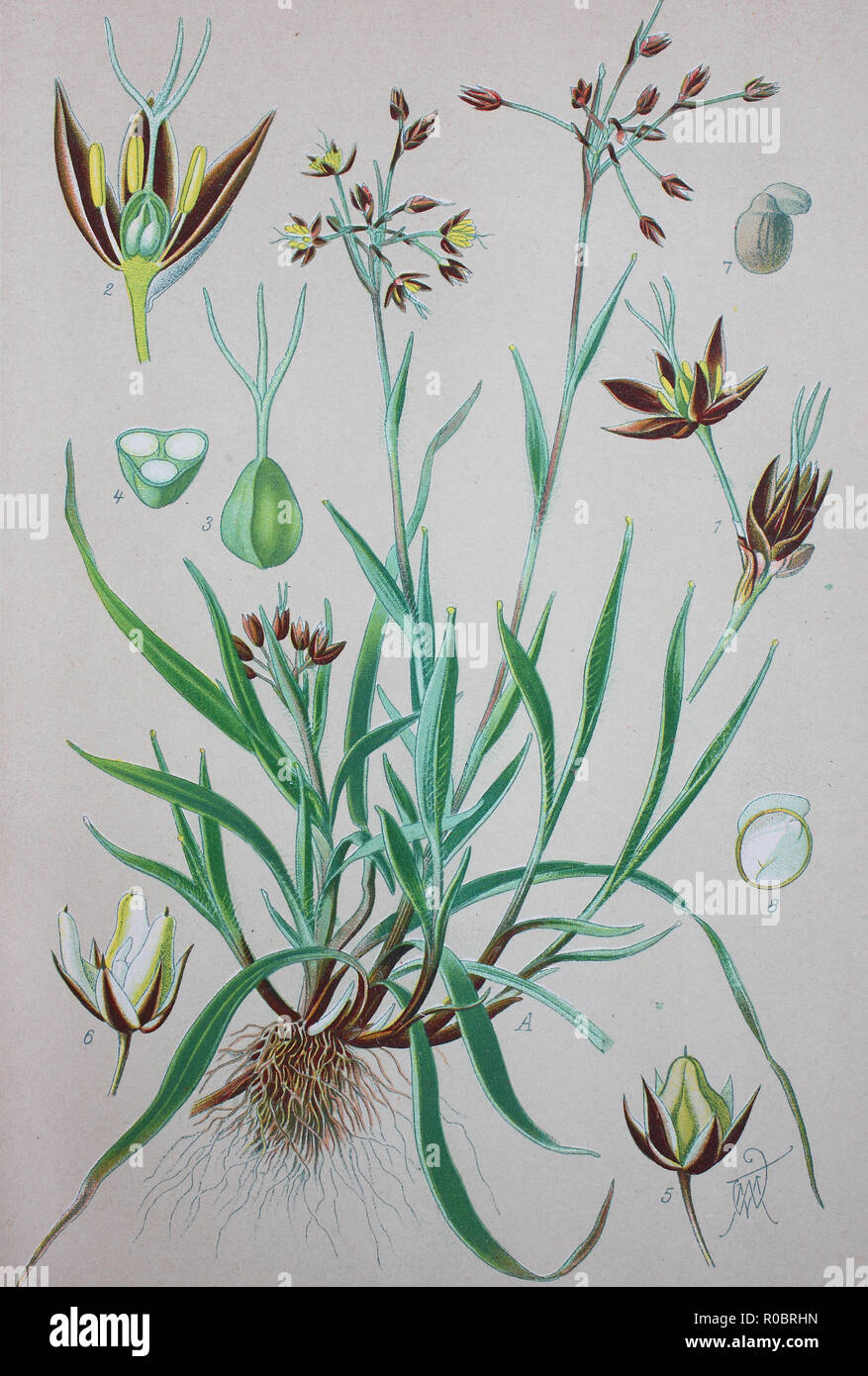 Digital improved high quality reproduction: Luzula pilosa is a species of flowering plant in the rush family Juncaceae with the common name hairy wood-rush - Stock Image