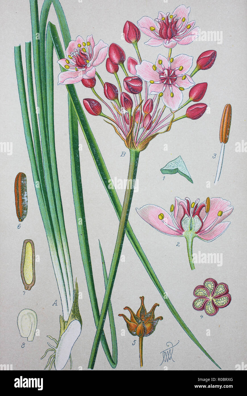 Digital improved high quality reproduction: Butomus umbellatus is the Old World Palearctic and Asian plant species in the family Butomaceae. Common names include flowering rush or grass rush - Stock Image